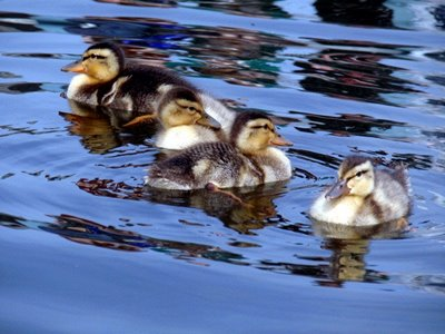 the-mallards-family-00